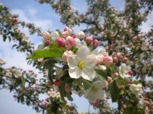 Apfelbaum Blüten - Baum der Liebe