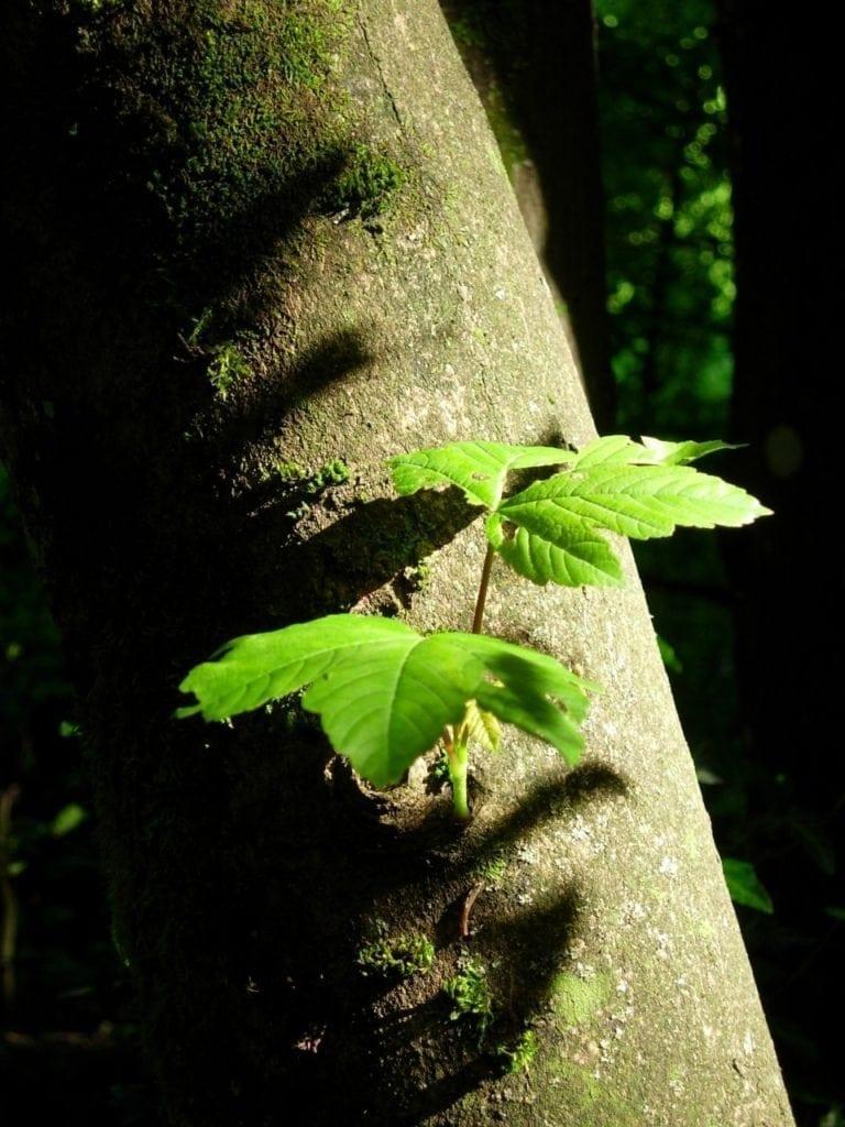 Ahorn Stamm mit Blättern - Baum der Freiheit