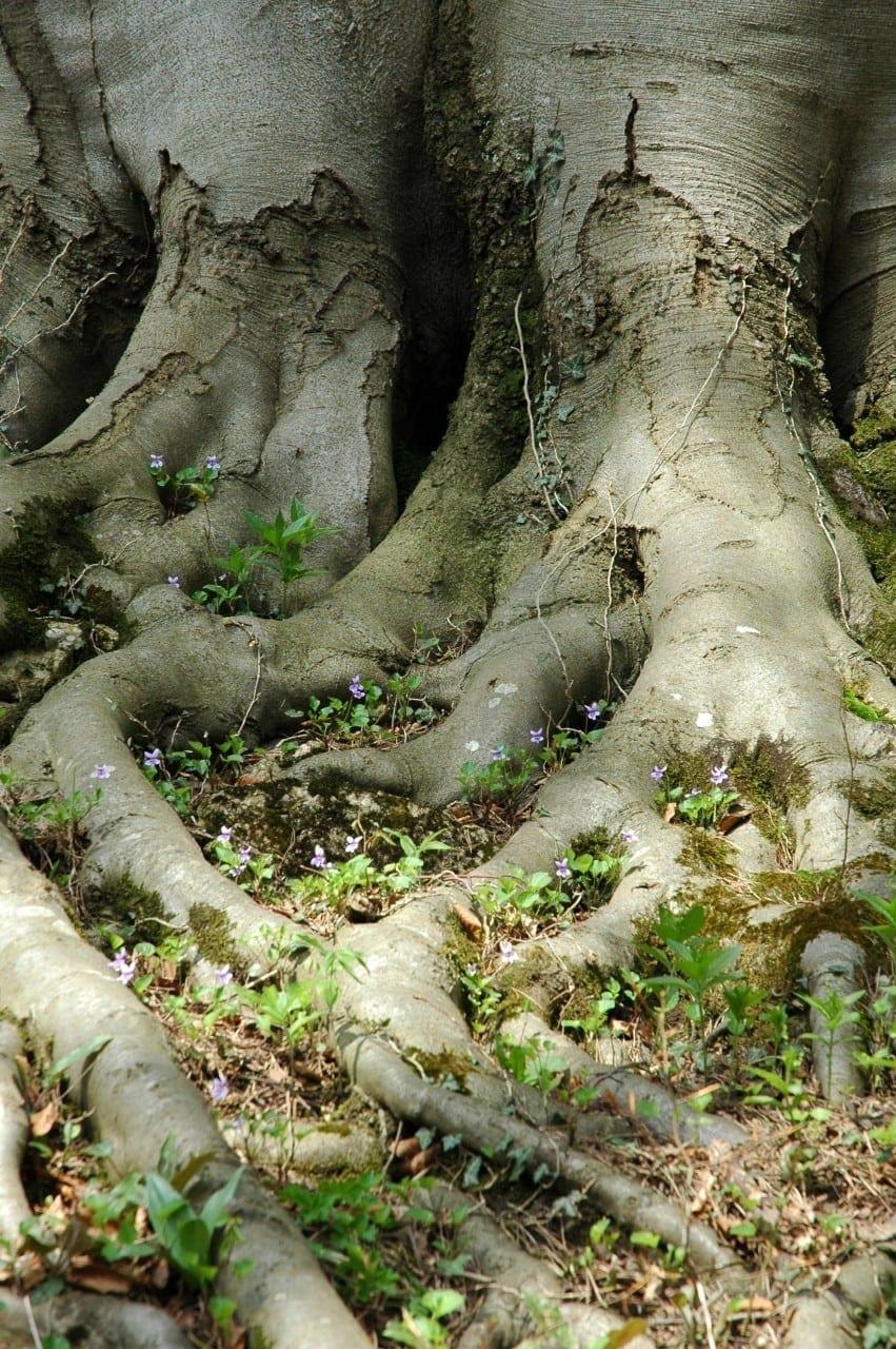 Buche Stamm mit Wurzeln - Baum der Intuition