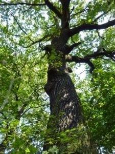 Eiche Stamm mit Rinde - Baum der Stärke