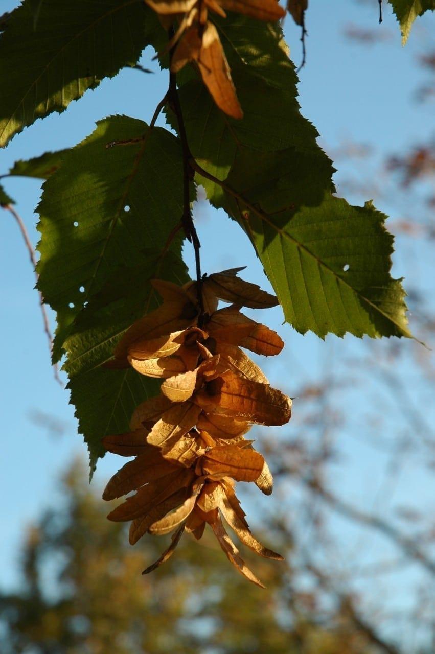 Hainbuche Blätter im Herbst - Baum der Beharrlichkeit