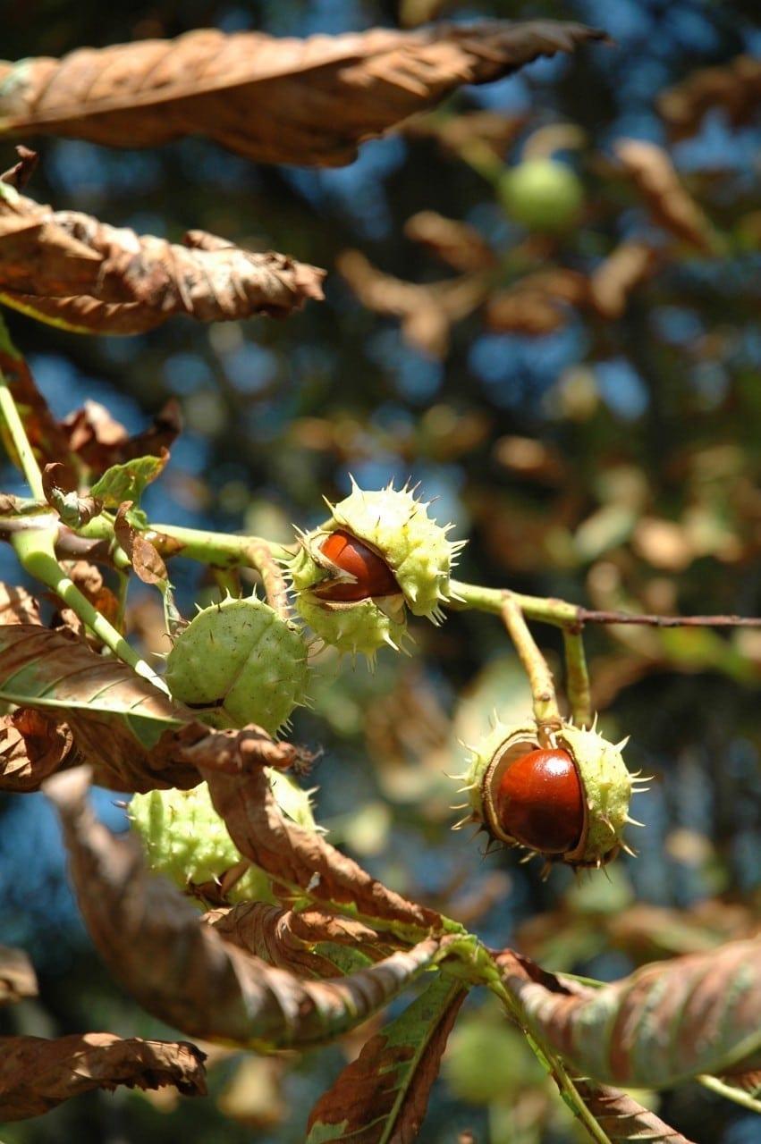 Kastanie Frucht - Baum der Offenheit