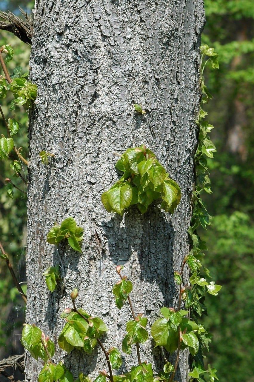 Pappel Stamm mit Rinde und Blätter - Baum der Selbsterkenntnis