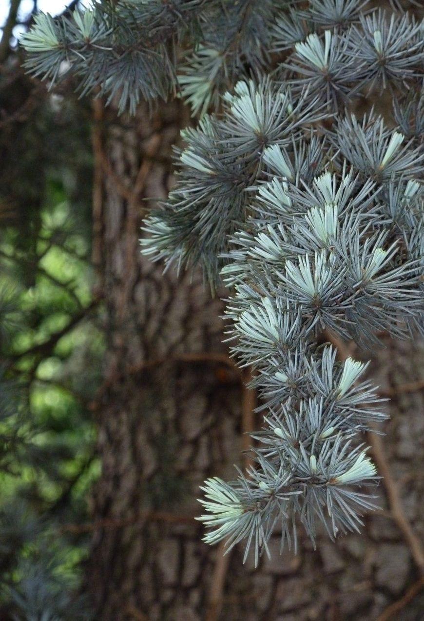 Zeder Nadeln - Baum des Mysteriums